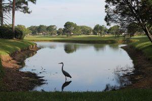 Blue heron bird standing in a lake in Florida.