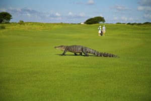 An alligator found his way on a sunny gold course.